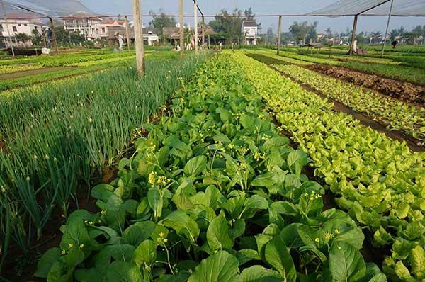 Những ruộng rau xanh ngát tại Làng rau Trà Quế Hội An