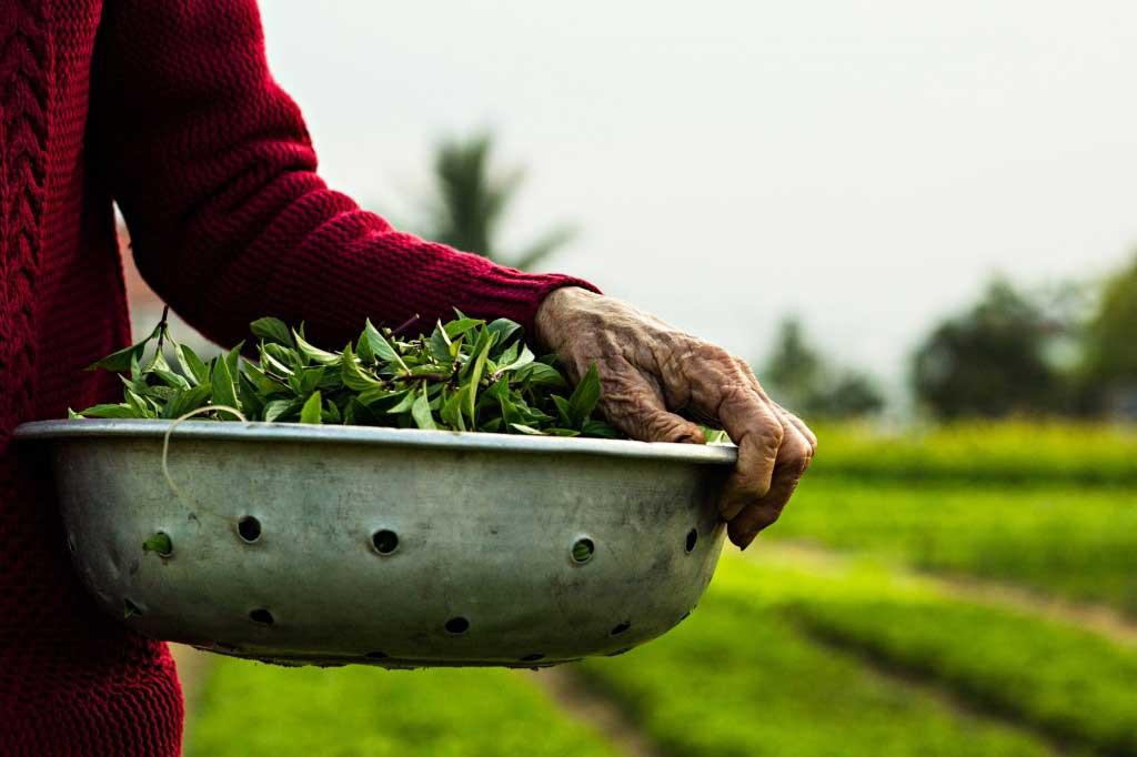 Trà Quế nổi tiếng với hơn 20 loại rau thơm ngát