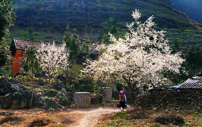 Hoa mận nở trắng khắp núi rừng Tây Bắc