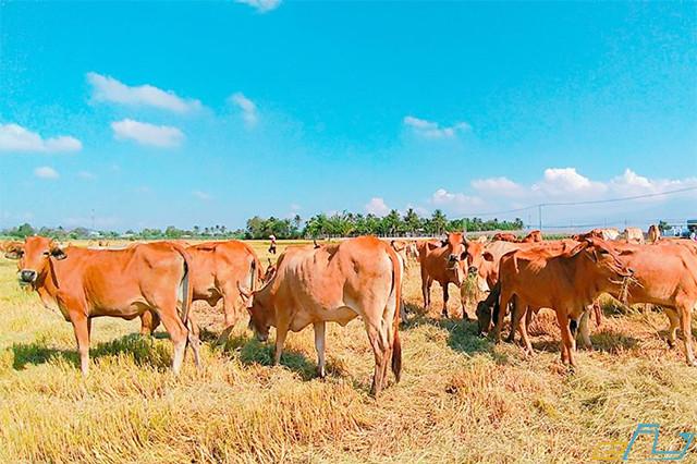 cẩm nang kinh nghiệm du lịch Ninh Thuận 2018: cánh đồng chăn bò an hòa