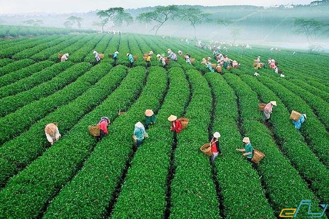 địa điểm du lịch gần nhau ở Đà Lạt: tuyến du lịch trại mát - đồi chè cầu đất