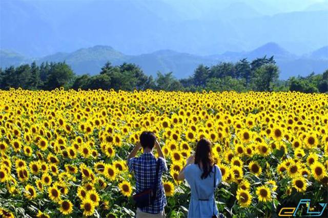 Cẩm nang du lịch cánh đồng hoa hướng dương Nghệ An từ A đến Z