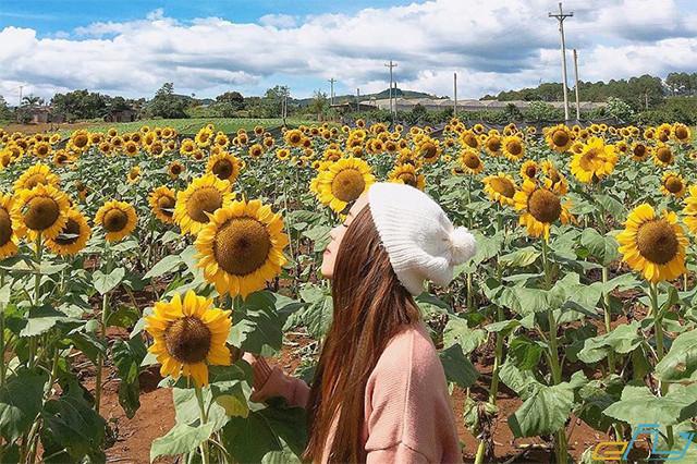 Cẩm nang du lịch cánh đồng hoa hướng dương Nghệ: cánh đồng hoa hướng dương nghệ an ở đâu