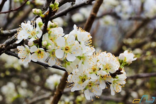 Cẩm nang du lịch Kỳ Sơn Nghệ An: hoa mận mường lống