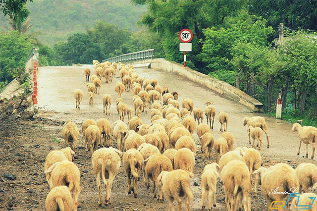 cẩm nang kinh nghiệm du lịch Ninh Thuận 2018: cánh đồng cừu an hòa