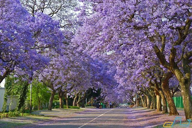 Đà Lạt đẹp mê hồn mùa hoa phượng tím