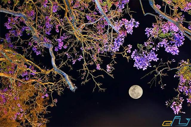 mùa hoa phượng tím đà lạt khi vào mùa hoa tím nở ban đêm huyền ảo