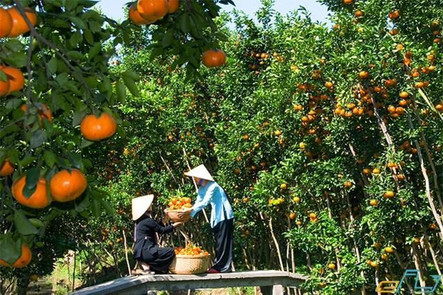 vườn trái cây trĩu quả trên cù lao thới sơn