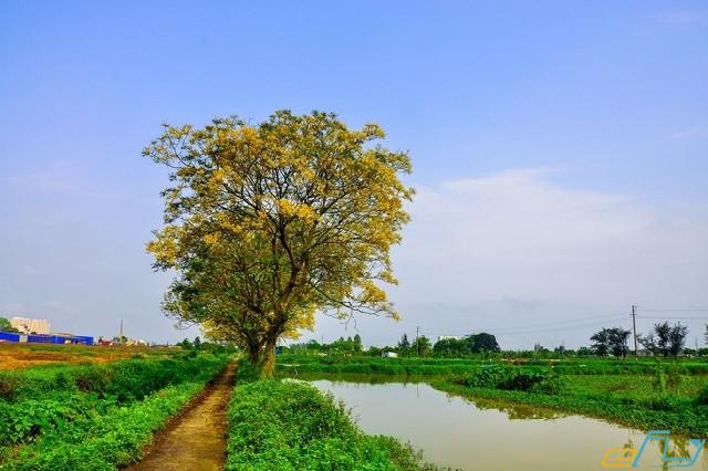 Du lịch Hà Đông: con đường hoa điệp rực vàng