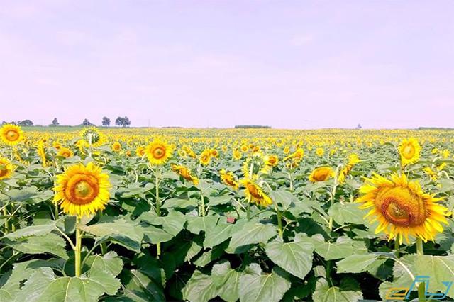 du lịch nghệ an kinh nghiệm điểm đến ưu thích cánh đồng hoa hướng dương