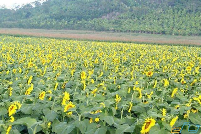 du lịch nghệ an điểm đến cánh đồng hoa hướng dương