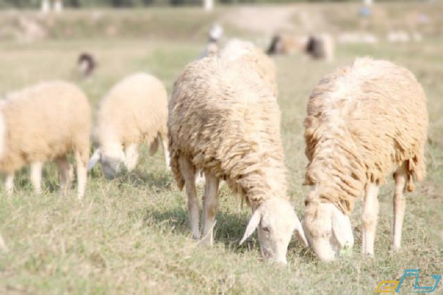 Du lịch trại cừu Yên Thành Nghệ An mùa nào đẹp nhất