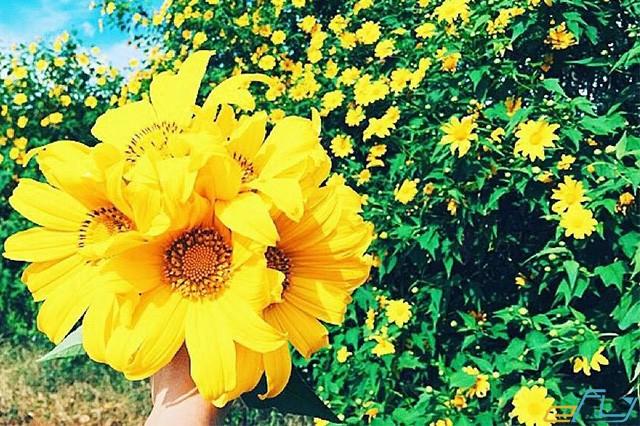 Ngất ngây với những địa điểm ngắm hoa dã quỳ ở Đà Lạt