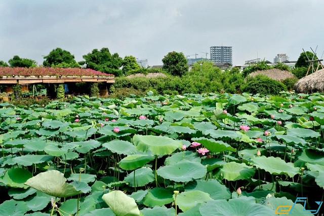 thung lũng hoa Hồ Tây Hà Nội