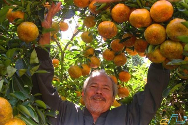 vườn trái cây sai quả mùa thu hoạch ở vĩnh kim tiền giang miền tây
