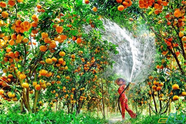 vườn quýt trái cây cái bè