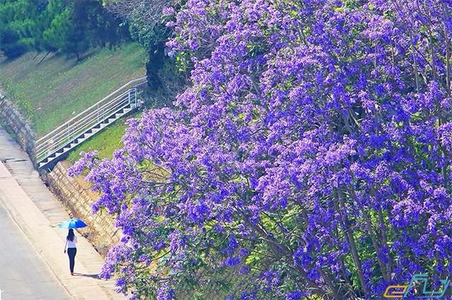 mùa hoa phượng tím đà lạt vô cùng lãng mạn