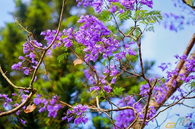 thời gian nở rộ mùa hoa phượng tím đà lạt