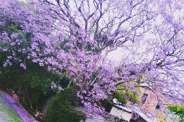 Đà Lạt mùa hoa phượng tím rực rỡ cả nền trời