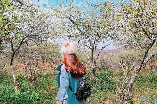 Tháng 1 đi chơi đâu: du lịch mộc châu tháng 1