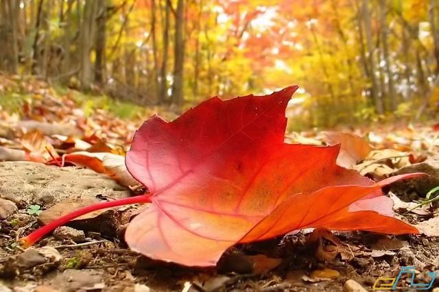 Tìm hiều về rừng lá phong Đà Lạt ở đâu