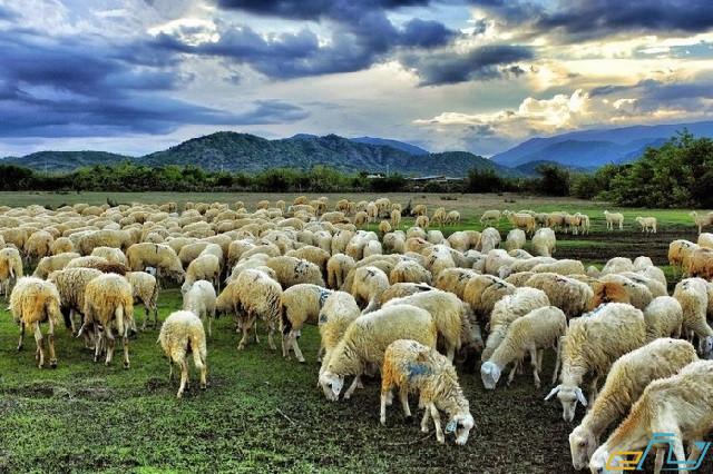 địa điểm du lịch Ninh Thuận: đống cừu an hòa